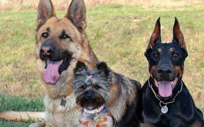 Besmettelijke hondenhoest