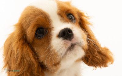 Aanschaf van een pup