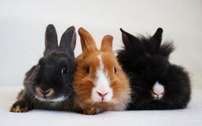 Castratie konijn